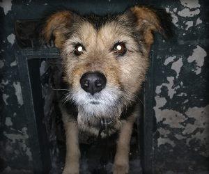 """Олександр Шепітко - """"Паштет"""". Собака з оповідання."""
